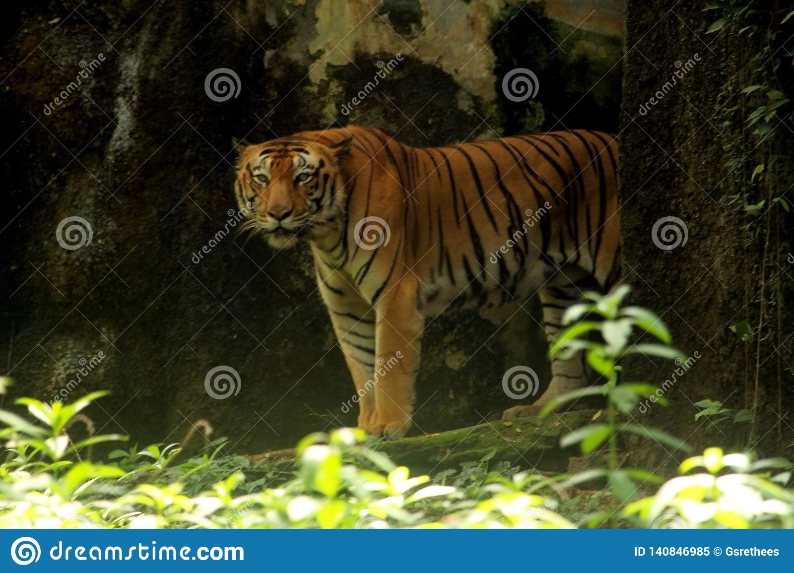 rainforest of the Asian tiger