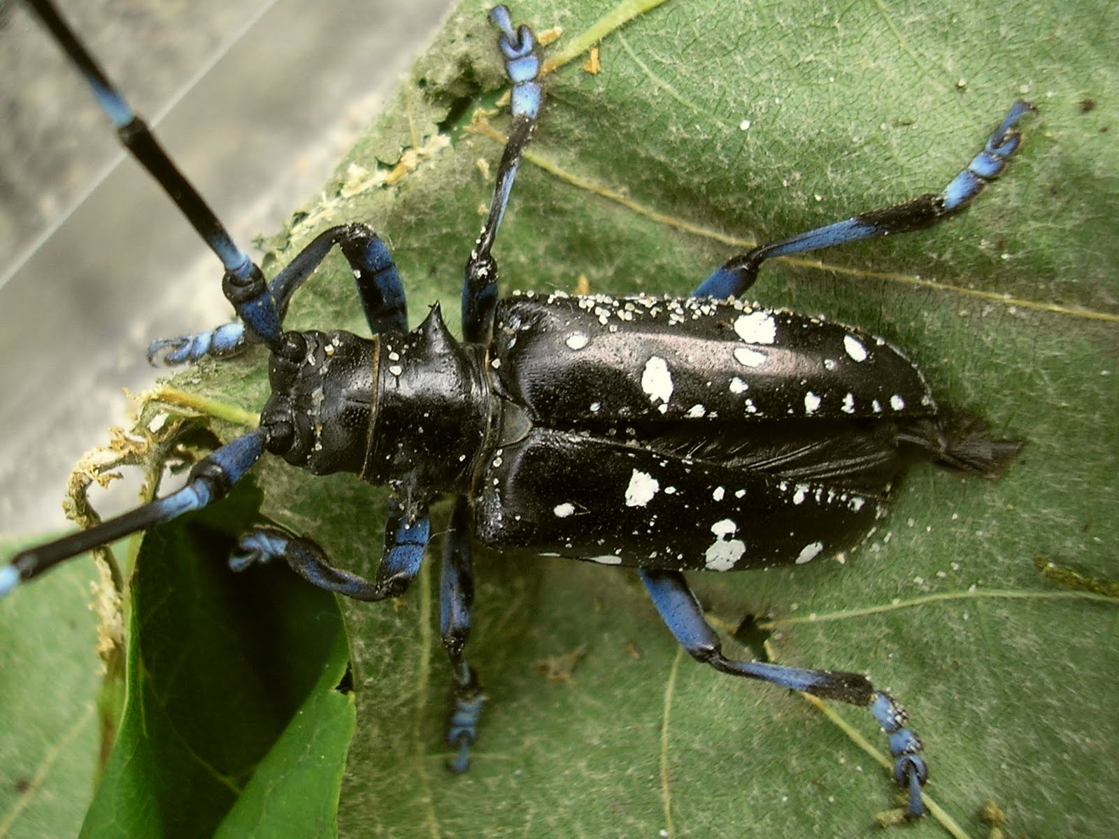 beetle picture longhorn Asian