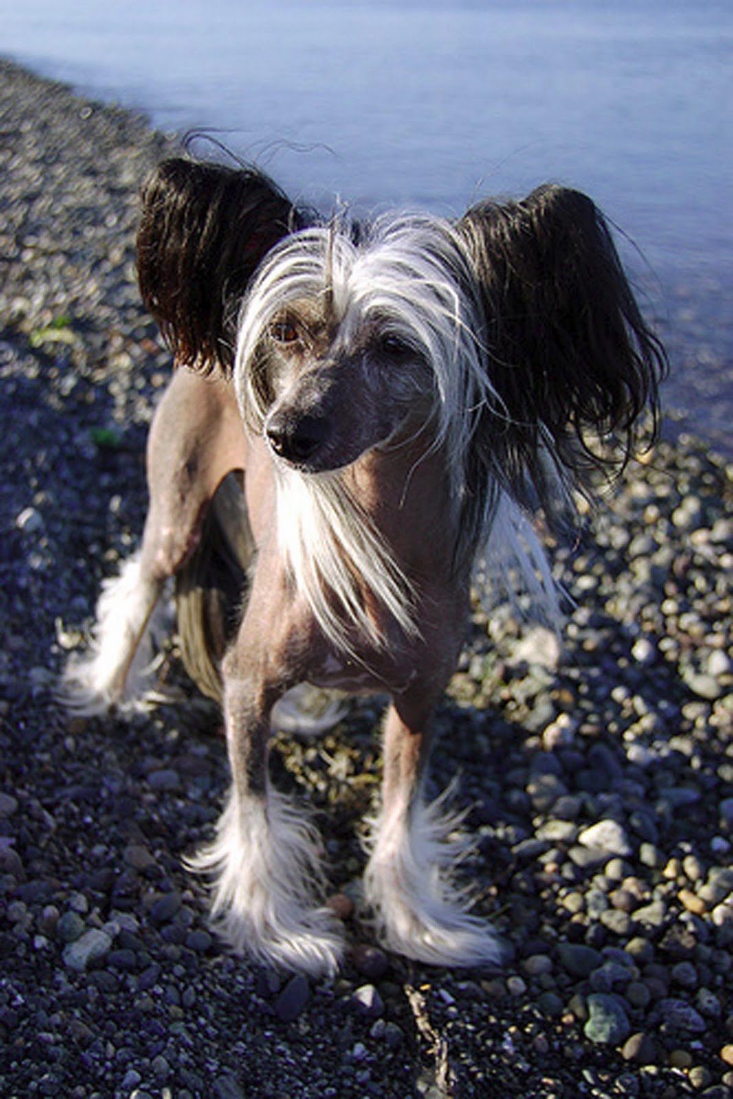 my chinese for shaved crested I this legs